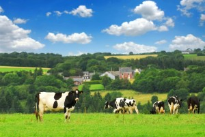 84798-cows-in-a-pasture